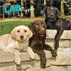 Kalendarz Labrador Retriever Puppies 2020 Square Wall Calendar