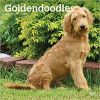 Kalendarz Goldendoodles 2020 Square Wall Calendar