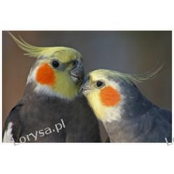 BUDKA LĘGOWA ''NIMFA'' - papugi kozy, nimfy
