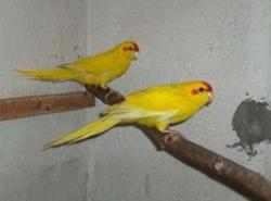 Papuga kozia